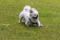 Small white pekinese on a meadow while playing royalty free stock photography