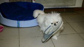 Small white Pekingese dog playing. It gnaws slippers or shoes.