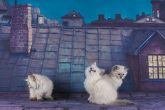Small white Persian kittens on the roof at night Royalty Free Stock Image