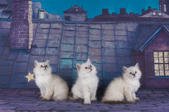 Small white Persian kittens on the roof at night Royalty Free Stock Photo