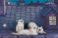 Small white Persian kittens on the roof at night Stock Image