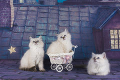 Small white Persian kittens on the roof at night Stock Photography