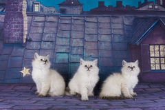 Small white Persian kittens on the roof at night Stock Images