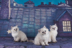 Small white Persian kittens on the roof at night Royalty Free Stock Photos
