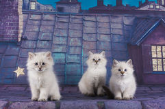 Small white Persian kittens on the roof at night Stock Photo