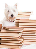 Small white terrier dog among stacks of books Royalty Free Stock Photography