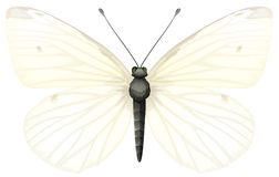 Small white - Pieris rapae Royalty Free Stock Photos