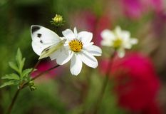 Small white (Pieris rapae) butterfly Royalty Free Stock Photography