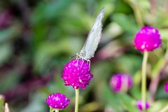 The Small White Pieris rapae a butterfly from Kerala, India. The Small White Pieris rapae a butterfly from Kerala in India stock image