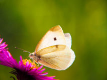 Small white (pieris rapae (18) Stock Photo