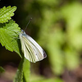 Small White (Pieris rapae), Sweden. This butterfly is as the name says, smaller. The male is white with black tips to the forewings. The underwings are yellowish stock photos
