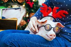 Piggie piggy piglet red pig sits Yellow New Year christmas hold hand face decorations deer antler horn sunglasses. A small white pig is sitting on the woman`s royalty free stock photo