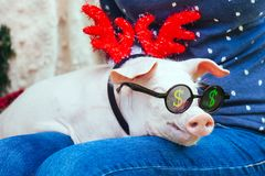 Piggie piggy piglet red pig sits Yellow New Year christmas hold hand face decorations deer antler horn sunglasses. A small white pig is sitting on the woman`s stock photos