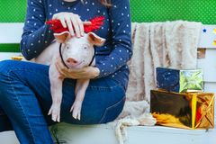 Piggie piggy piglet red pig sits 2019 Yellow New Year christmas hold hand face decorations deer antler horn. A small white pig is sitting on the woman`s lap stock images