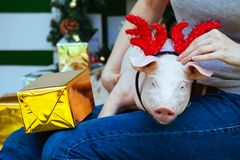 Piggie piggy piglet red pig sits Yellow New Year christmas hold hand face decorations deer antler horn. A small white pig is sitting on the woman`s lap. Funny stock photo