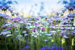 Small white-pink saxifrage on gentle blue sky background with soft focus. Beautiful flowers on summer meadow on sunny day, floral stock photos