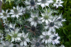 Small white pointy flowers. Outside royalty free stock photo