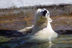 Small white polar bear taking bath. In the zoo Royalty Free Stock Image