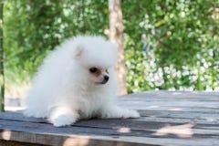 Small white pomeranian dog. On table Stock Photos