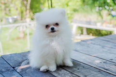Small white pomeranian dog. On table Royalty Free Stock Photo