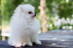 Small white pomeranian dog. On table Royalty Free Stock Image