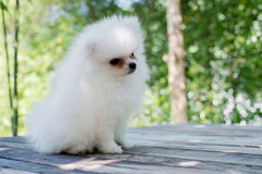 Small white Pomeranian dog. Small white Pomeranian dog on table wood Royalty Free Stock Images