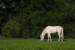 Small white pony Stock Image