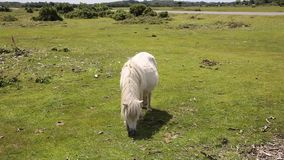 Small white pony eating grass in New Forest Hampshire Stock Image