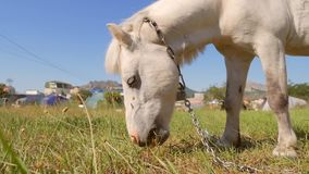 Small white pony horse eating green grass on the field. HD slowmotion. stock video
