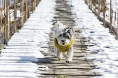 Small white poodle dog in winter sweater on snow. Small white poodle dog with woolen winter sweater walking on a snow Royalty Free Stock Image
