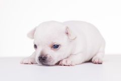 Small white puppy Royalty Free Stock Photo