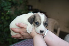 Small white puppy. In her arms hostess Stock Photography