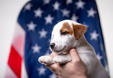 Small puppy with US flag on background stock photo