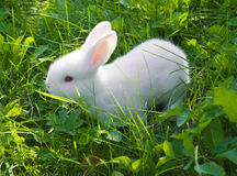 Small white rabbit Royalty Free Stock Image