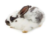 Small white rabbit Royalty Free Stock Photos