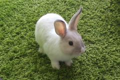 Small white rabbit with gray stripe sitting on green carpet.  royalty free stock image