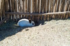 A small white rabbit hides under a wooden fence on a farm. Stock Images