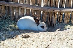A small white rabbit hides under a wooden fence on a farm. Stock Photos