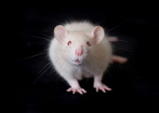 Small white rat Royalty Free Stock Photos