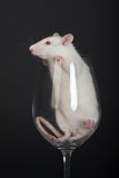 Small white rat Royalty Free Stock Image