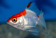 Small white  and red capped Ryukin goldfish. Young orange and white goldfish in tropical aquarium with blue background. Carassius auratus sideview Stock Photos