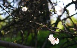 Beatiful Rose White Cherry Blossom On the Branch in Bloom. Small white rose blossoms of sakura japan cherry on the branch in early spring stock photography