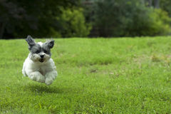 Small White Running Dog Stock Image