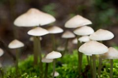 Small white saprotrophic mushrooms closeup Royalty Free Stock Photo