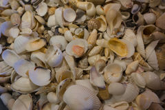 Small white sea shells Stock Images