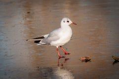 Small white seagull walking on frozen pond Royalty Free Stock Photos