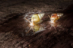 Small white snails Stock Photography