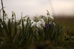Small white snowdrops with a purple flower in the center royalty free stock images