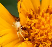 Small White Spider Stock Image