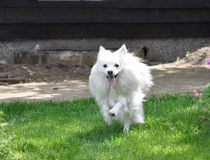 Small white spitz runing stock photography